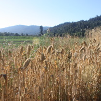 Organic Wheat Nursery Tour and Harvest